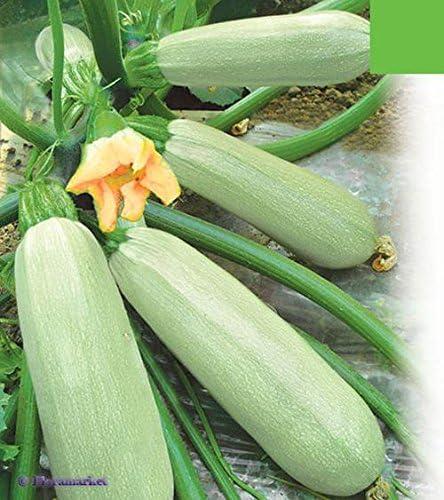 bush organic from Ukraine 3 grams Seeds vegetable squash Zucchini Chaklun