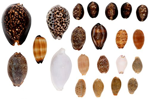 Philippine Shell Jewelry (Cowry Shell Pack - Sea Shells Mixed Beach Seashells - 300 Grams - Quality, Handpicked and Cleaned - Bag of Approx. 24 Large Cowries)