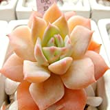 Goodfans 50PCS Stone Flower Seeds Succulents Potted Mini Plant Flower Office Home Stone Flower Seeds