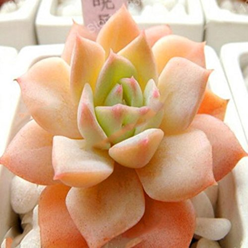 Goodfans 50PCS Stone Flower Seeds Succulents Potted Mini Plant Flower Office Home Stone Flower Seeds by Goodfans