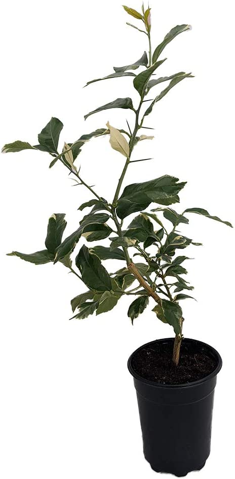 6 Pot Pink Variegated Eureka Lemon Tree FR22