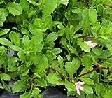 40 SCAEVOLA Scala Pink Live Plants Plugs Garden Home DIY Planters BIN 331