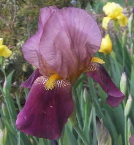PLAT FIRM SEMILLAS DE GERMINACION: Bulbos de 3 rizomas INDIO INDIO Alto Barba Iris Perenne Violeta Vino Borgoña