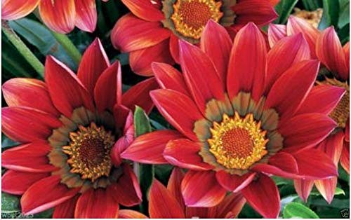 - Fresh Gazania 25 Seeds - Kiss Frosty Red