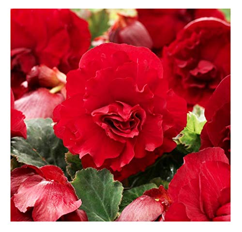1 Double Scarlet Large Begonia Corm/Bulb - Beautiful in Ground or in Pots bur Not Cold Hardy