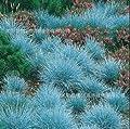 1100 Blue Fescue Grass Seeds - (Festuca glauca) perennial hardy ornamental beautiful grass seeds for flower pot planters