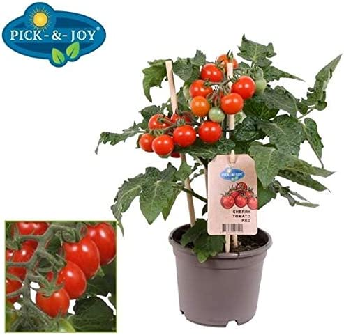 Cherry Tomato Plant in a 14cm Pot with Fruits on