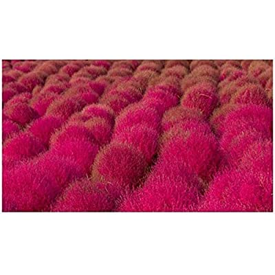 1600 Seeds of Kochia Trichophylla, Burning Bush : Garden & Outdoor