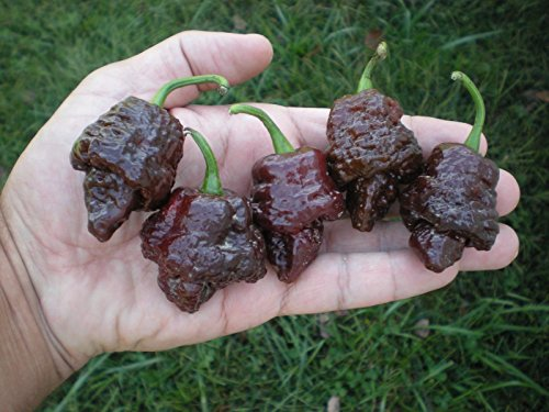 (1000) CHOCOLATE TRINIDAD SCORPION Hot Pepper Seeds by MW061