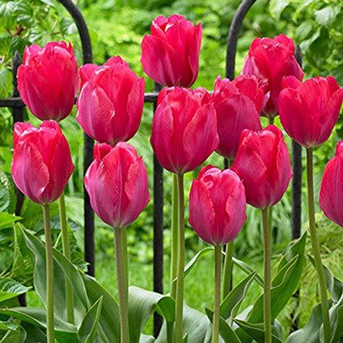 Darwin Hybrid Tulip (Tulipa 'Lady Van Eijk') Tulip Bulbs (25 Bulbs) ()
