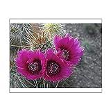 10x8 Print of Hedgehog cactus (Echinocereus engelmannii) in bloom, Saguaro National Park (13956789)