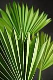 fan palm - Richland Natural Palm Leaf Fans Leaves Set of 5