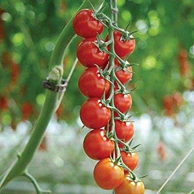 Sakura F1 Hybrid Tomato Seeds (50 Seeds) : Garden & Outdoor