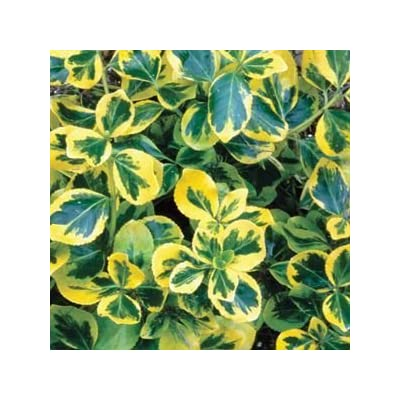 Euonymus-Gold-Splash - QT Pot (Shrub) : Garden & Outdoor
