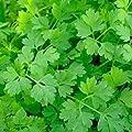 Chervil Seeds (Anthriscus cerefolium) 50+ Rare Non-GMO Heirloom Culinary Herb Seeds