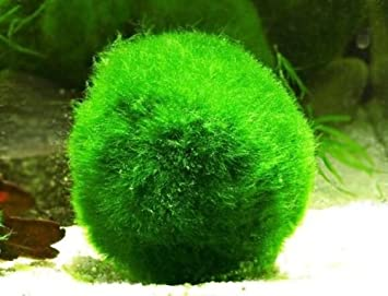 Games Tech Marimo Moss Ball 0 5 Inch 13mm Live Plant For Fish