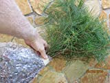 8 Planting White Pine Sapling Trees 12inch Evergreen seedling transplants #HSE