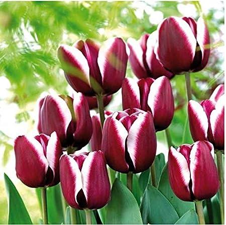 Amazon Com Seeds House Caiuet 100pcs Tulip Seeds Rarity Garden