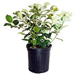 Fothergilla major 'Mt. Airy' (Fothergilla) Shrub, white flowers, #2 - Size Container