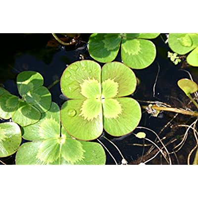 POND PLANT CLOVER, VARIEGATED : Garden & Outdoor