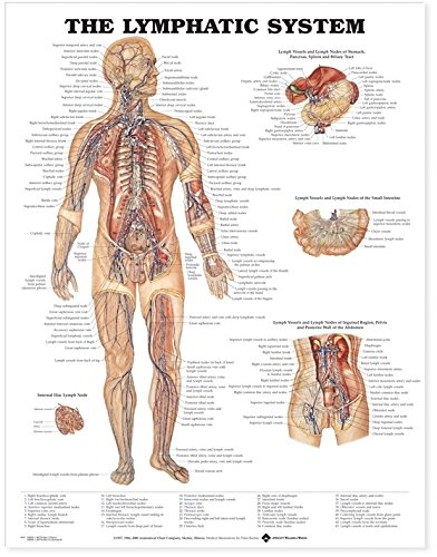 Amazon The Lymphatic System Anatomical Chart Anatomical Chart