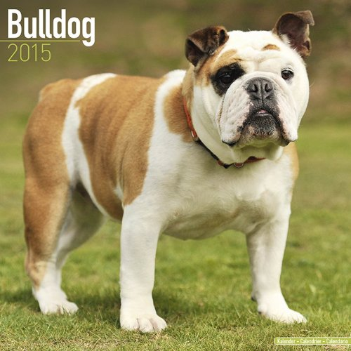 english bulldog 2015 calendar - 4