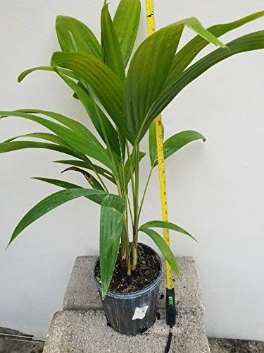 (Adonidia Palm - Christmas Palm Tree seedlings Bare Root 20 inch or Taller)
