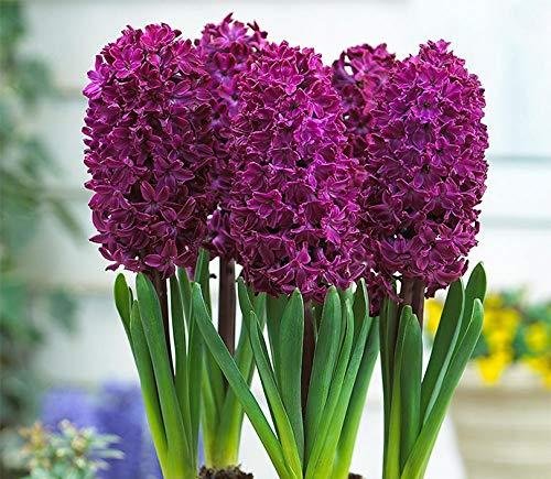 Gardening Rare Variety Hyacinth Imported Flower Bulbs - Pack of 5 Bulbs (LIVE GREEN) (Woodstock) (B07YZKBPN8) Amazon Price History, Amazon Price Tracker
