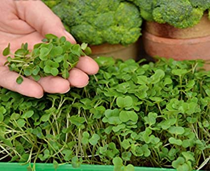 Microgreens - Brócoli - hojas jóvenes con un sabor único - 900 semillas