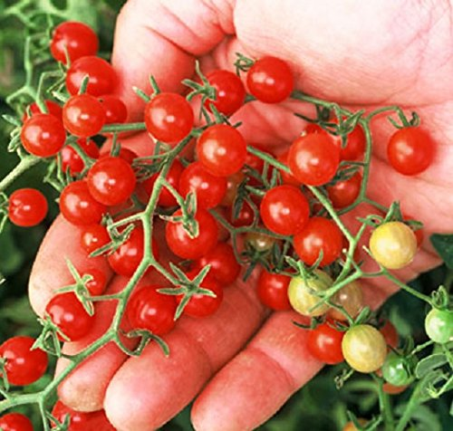 Dwarf Red Currant Tomato Seeds, World Smallest Tomato (18,000 Seeds)