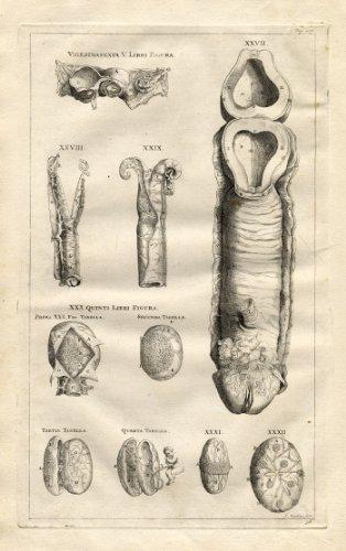 Antique Medical Print-GENITAL Man-Vesalius-1725