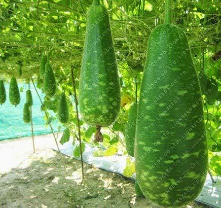 Nature Valley Bottle Gourd Lauki Lau Clabash Seeds Hybrid Vegetable 15 Seeds (B07G5JVGVP) Amazon Price History, Amazon Price Tracker