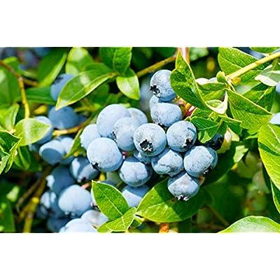 Green Fruit Bush Berry White Flower seeds, 50 high-Class Moringa Northern Trees : Garden & Outdoor