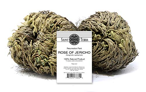 Saint Terra - Rose of Jericho Flower The Resurrection Plant, Pack of 2