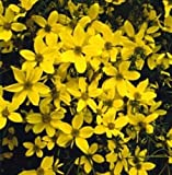 Bidens Bit of Sunshine Annual Seeds