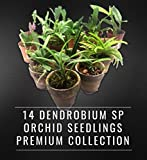 14 DENDROBIUM SPECIES SEEDLINGS PREMIUM COLLECTION