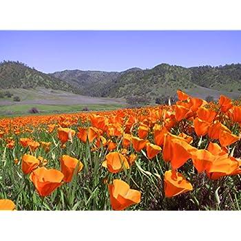 Amazon california orange poppy wildflower seeds bulk 1 ounce california orange poppy wildflower seeds bulk 1 ounce packet over 20000 native seeds mightylinksfo