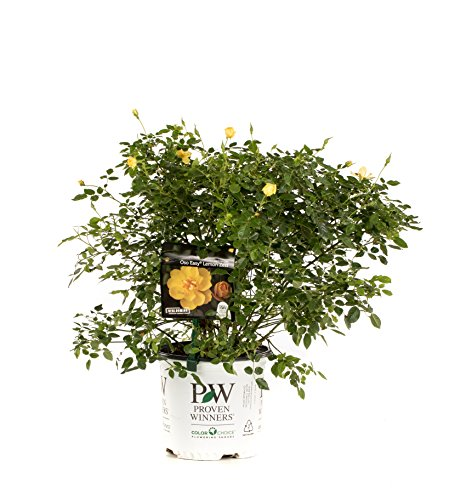 1 Gal. Oso Easy Lemon Zest Landscape Rose (Rosa) Live Shrub, Yellow Flowers Bushes With Yellow Flowers