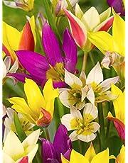 100x Tulpen 'Verwildering gemengd' bloembollen - 100% Bloeigarantie - Kleur mix - Bloeihoogte: 25-40 cm