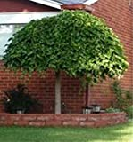 HEIRLOOM NON GMO Shangri LA Dwarf Mulberry 25 seeds