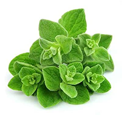 Oregano Herb 2000 Pcs Seeds
