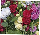 YOD 60 Seeds Mix Dwarf Hollyhock Queeny Alcea Rosea - EB47