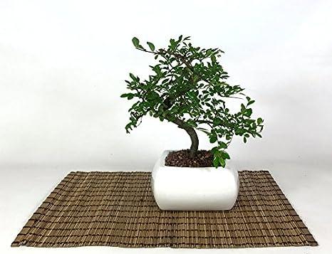 Bonsai di Olmo in vaso quadro bianco cm. 15  Amazon.it  Giardino e ... 9098f3bce6eb