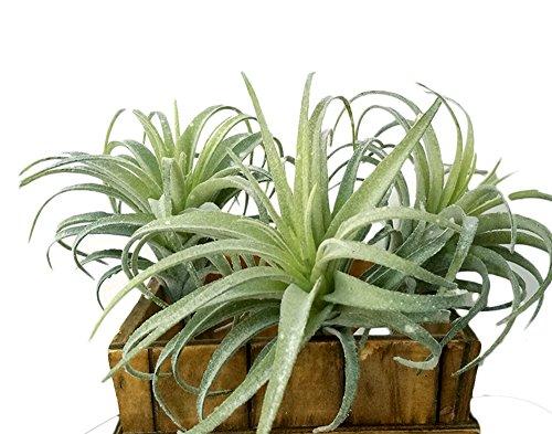 3 Pcs Artificial Flocking Tillandsia Air Plants Faux Succulents Bromeliads