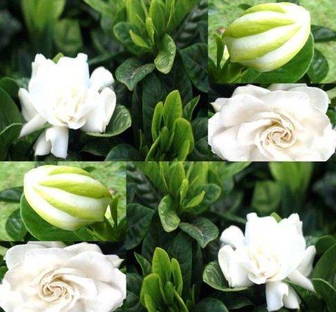New Cape Jasmine Flower 10 Seeds - Gardenia jasminoides - Combined S&H (Jasmine Gardenia Cape)