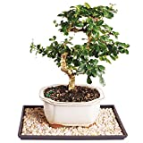 Brussel's Live Fukien Tea Indoor Bonsai Tree - 7 Years Old; 8'' to 12'' Tall with Decorative Container, Humidity Tray & Deco Rock