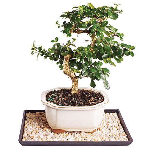 Brussel's Fukien Tea Bonsai - Medium (Indoor) with Humidity Tray & Deco Rock by Brussel's Bonsai