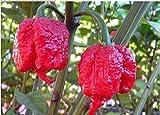 """The Best Seller 100 seeds Genuine Fresh Rare Red """"Carolina Reaper"""" Pepper Seeds (hot chilli ) Organic Vegetable."""