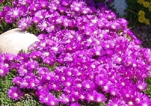 30+ delosperma Table Mountain Flower Seeds/ice Plant/Heat & Cold Hardy / 2