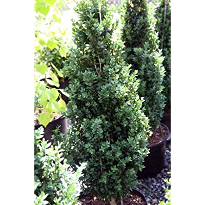Live Plant - Shipped Over 1 Foot Tall - Dee Runk Boxwood : Garden & Outdoor